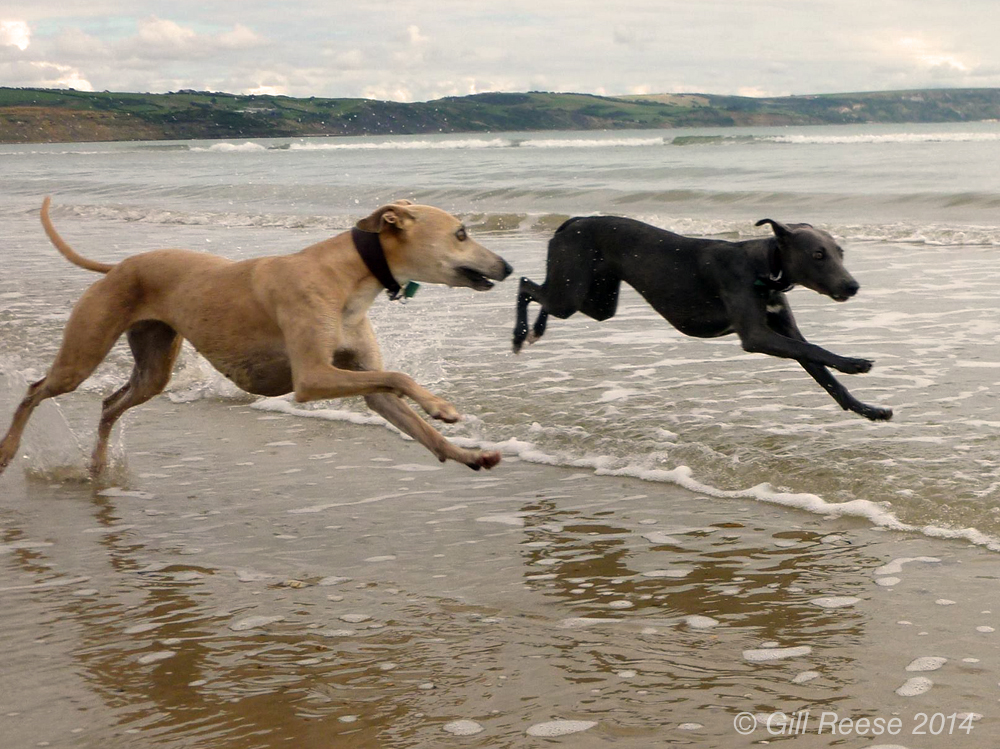 Whippets running along beach