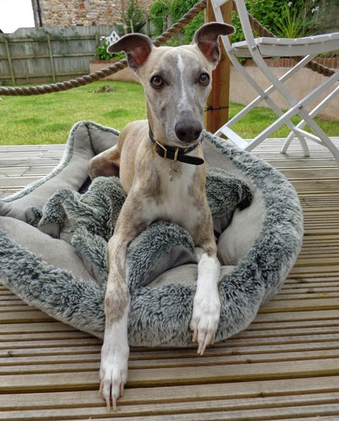 JR Whippet Rescue - Max